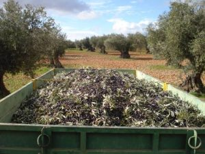 Transport des olives