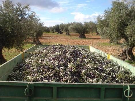 Transport des olives