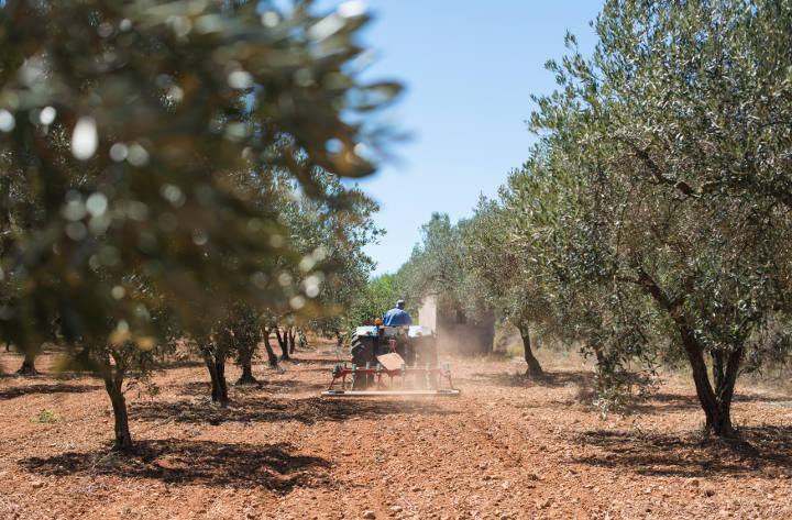 Labourage des sols oliveraies