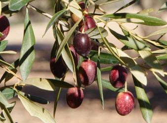 Variété d'olive Picual, mûre