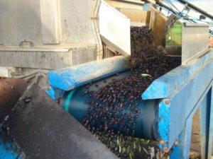 Olives sur le tapis roulant