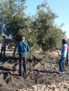 Récolte des olives par gaulage
